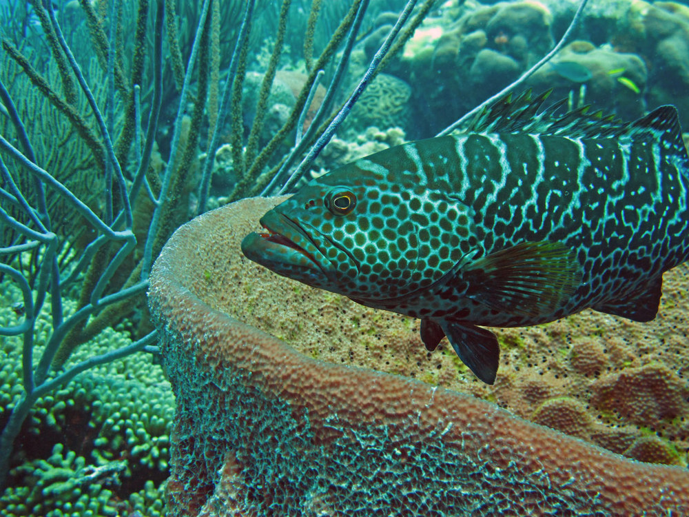 I think this is a juvenile Tiger Grouper