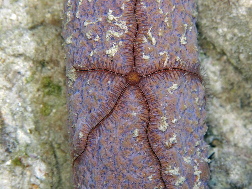 A sponge brittle star
