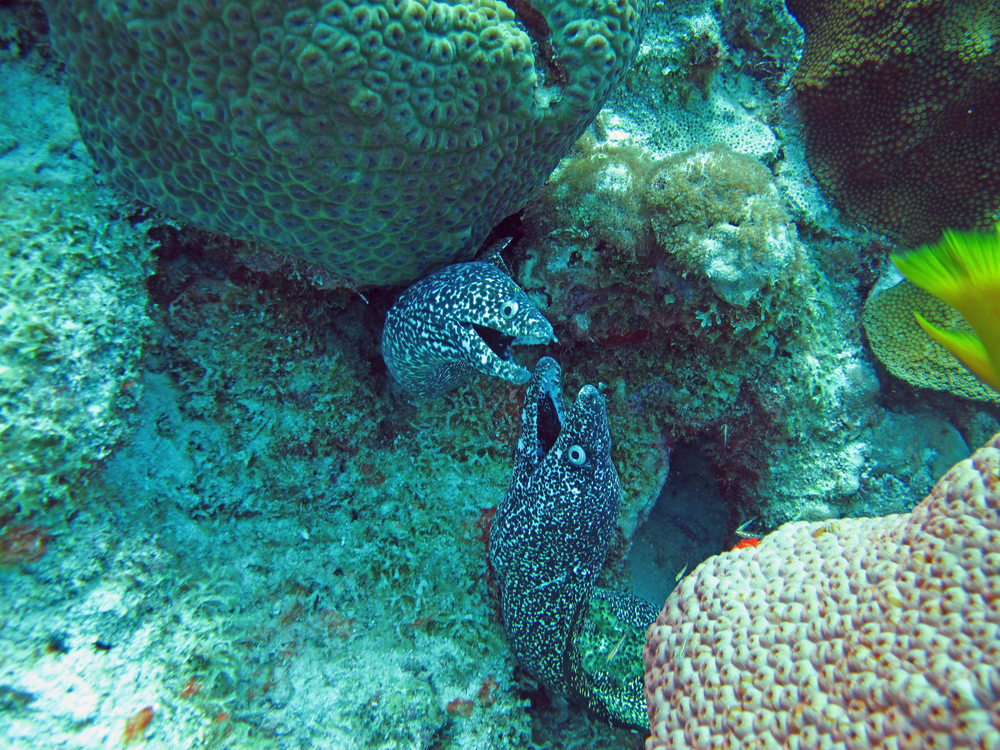 Two Spotted Moray eels