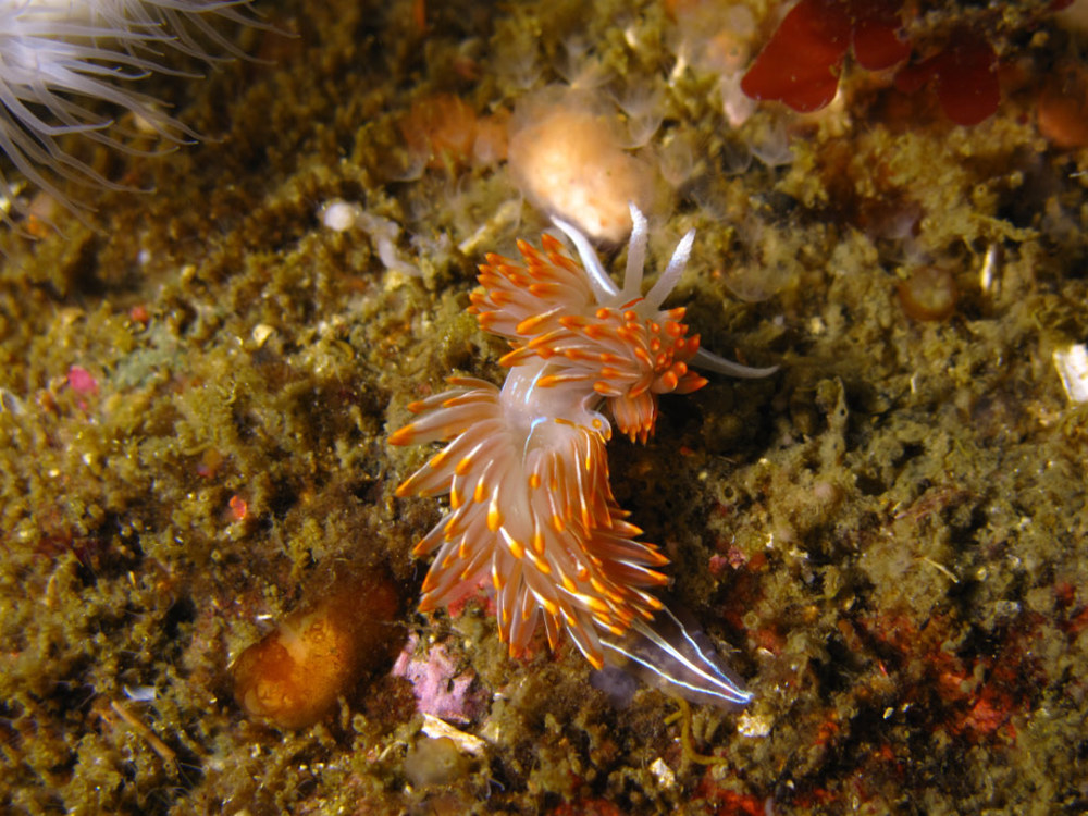 An opalescent nudibranch