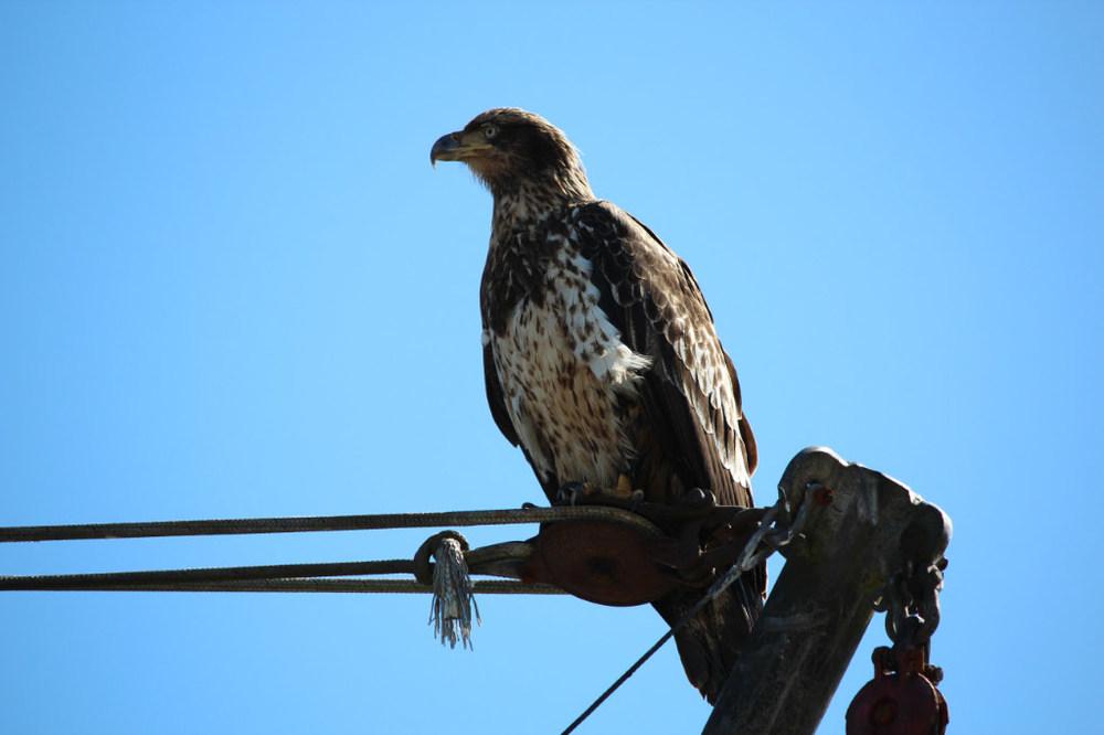 A juvenile eagle at the marina