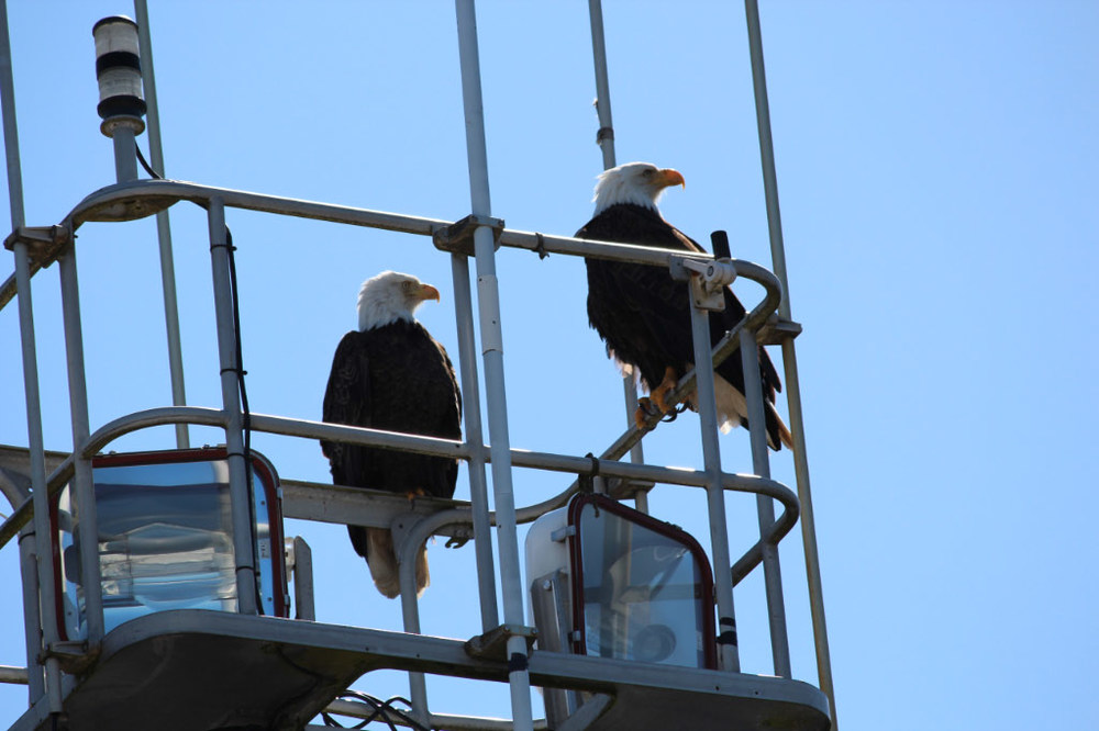 Two adult eagles having a rest at the marina