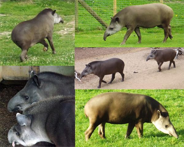 Tapirs. Tet Zoo loves tapirs. Image: Darren Naish.