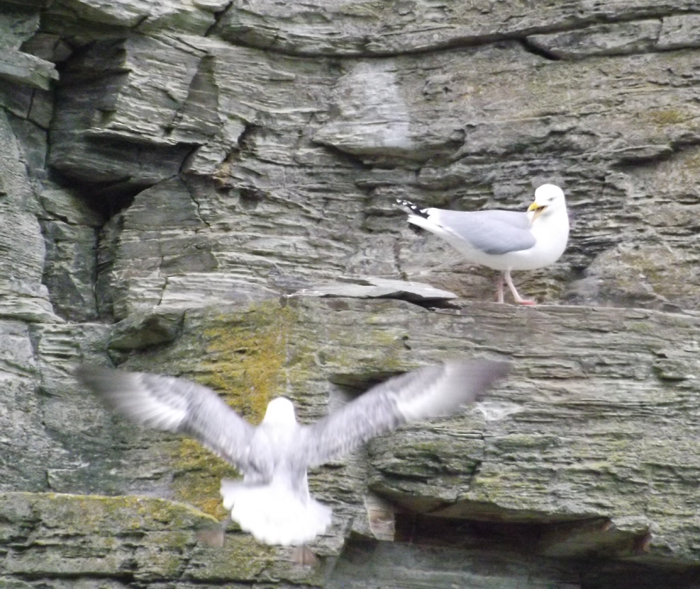 Seabirds: yet another group of tetrapods I've never covered sufficiently at Tet Zoo (despite 12 years of operation). Let's correct that. Here, a Herring gull  Larus argentatus  protests at the nearby presence of a Northern fulmar  Fulmarus glacialis . Image: Darren Naish.