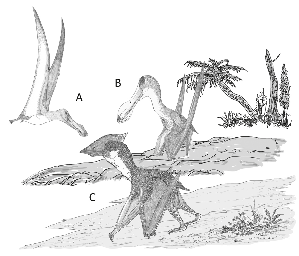 Behaviour speculatively inferred for the pterosaurs incorporated in our study. (A) A dedicated aerial lifestyle involving little terrestrial behaviour, as per  Anhanguera ; (B) reasonable terrestrial abilities in an animal otherwise very similar to its close, highly aerial relatives, as per  Coloborhynchus ; (C) proficient and regular terrestrial behaviour in an animal that routinely feeds and forages on the ground, as per  Vectidraco . Image: Darren Naish.