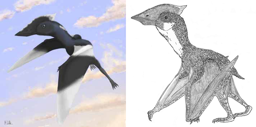 Vectidraco  could almost certainly fly well, as shown at left. But - like many, most or all azhdarchoids - it was likely a proficient and regular terrestrial walker as well, as shown at right. Image: Mark Witton (left), Darren Naish (right).