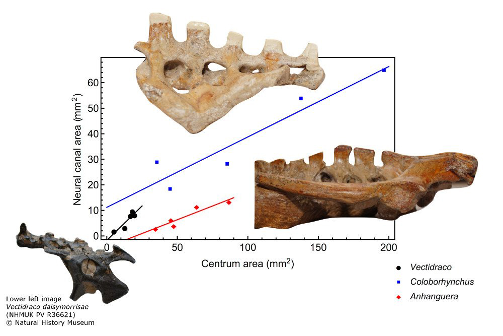 Neural canal cross-sectional area in our three pterosaur taxa: when normalised for centrum size,  Vectidraco  has a proportionally large neural canal. This composite image incorporates figures from Martin-Silverstone  et al . (2018) but was produced by the Palaeontological Association. Image: Martin-Silverstone  et al . (2018).