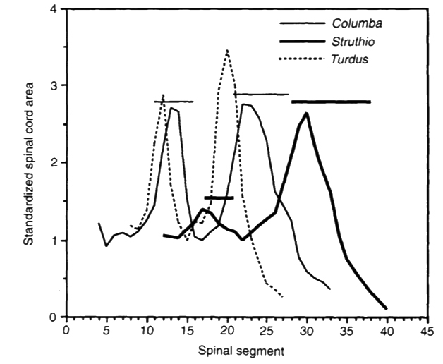 In a series of really interesting papers, Emily Giffin linked neural canal size with form and function in diverse tetrapods. This graph (from Giffin 1995b) shows how birds flying and flightless differ as goes the position of the largest parts of their spinal cords. The ostrich ( Struthio ) lacks a large spinal cord section in the anterior (brachial) part of its spinal column. Image: Giffin (1995b).