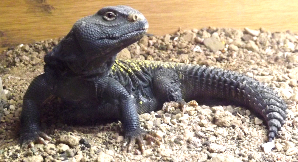A large mastigure is a fine, handsome, happy-looking lizard. The dark overall colour and yellow dorsal occellations show that this captive specimen is a Moroccan mastigure  Uromastyx acanthinurus . Image: Darren Naish.