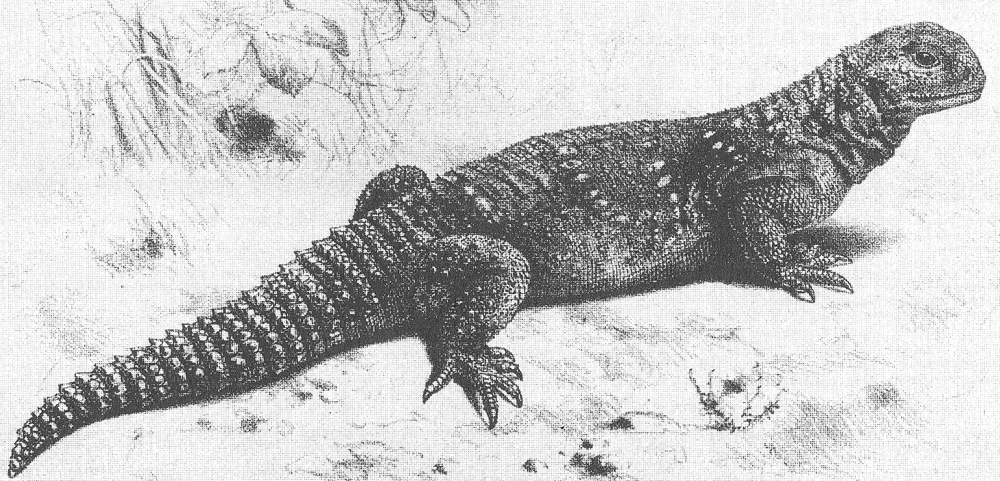 An Iraqi, Mesopotamian or Small-scaled spiny-tailed lizard  Saara loricata  (formerly  U. loricatus ), a mid-sized species of Iran and Iraq, as illustrated in one of Boulenger's 1885 catalogues of amphibians and reptiles kept in the collections of the British Museum. Image: Boulenger 1885.