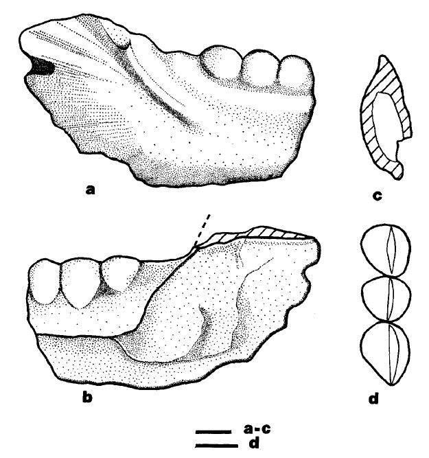 Just one of the many uromastycine fossil jaw fragments from the Lower Eocene of Kyrgyzstan descibed by Averianov & Danilov (1996). These fossils - and others - demonstrate the antiquity of this group within Eurasia and show that it didn't arrive in the region after its Miocene collision with Africa. The scales bars = 1 mm. Image: Averianov & Danilov (1996).