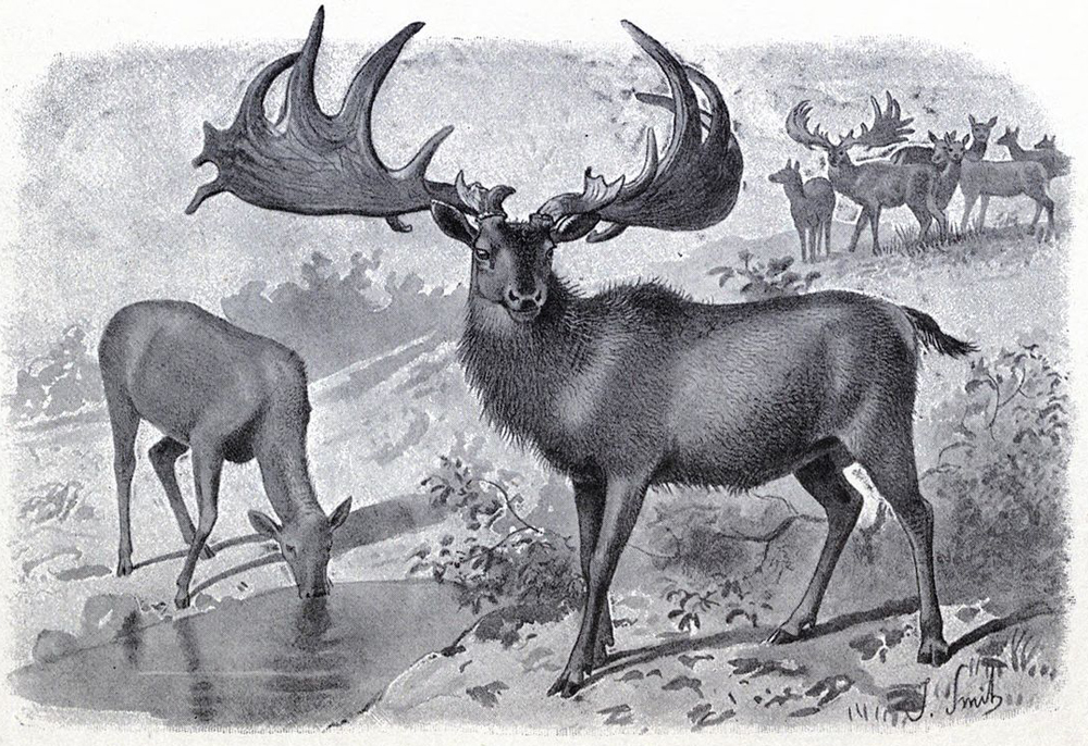 A very conventional, traditional image of  Megaloceros giganteus : it's depicted looking like a giant red deer, basically. Males and females are not that different in size, but males are often shown as maned. Most interest in this deer has, of course, concerned the spectacularly antlered males. This image is from Hutchinson's  Extinct Monsters  (published several times over the 1890s). Image:  Hutchinson (1892) .