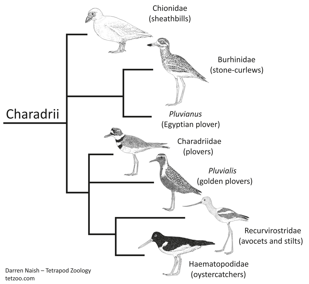 There are several competing cladograms for Charadrii: this one is a simplified version of the topology recovered by Mayr (2011). Like all of these sorts of cladograms, this one was produced for my in-prep textbook…   on which go here  .  Pluvianus  is missing simply because I haven't drawn it yet. Image: Darren Naish.