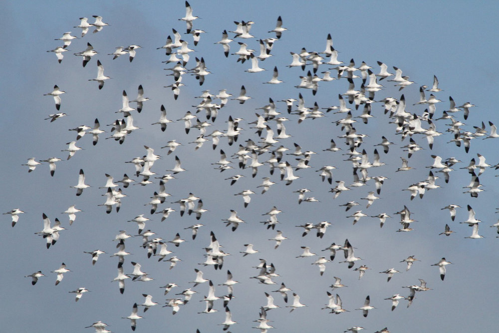 Another shot of the same group of Pied avocets (and Black-tailed godwits) in flight. Image: Bernie Dempsey.