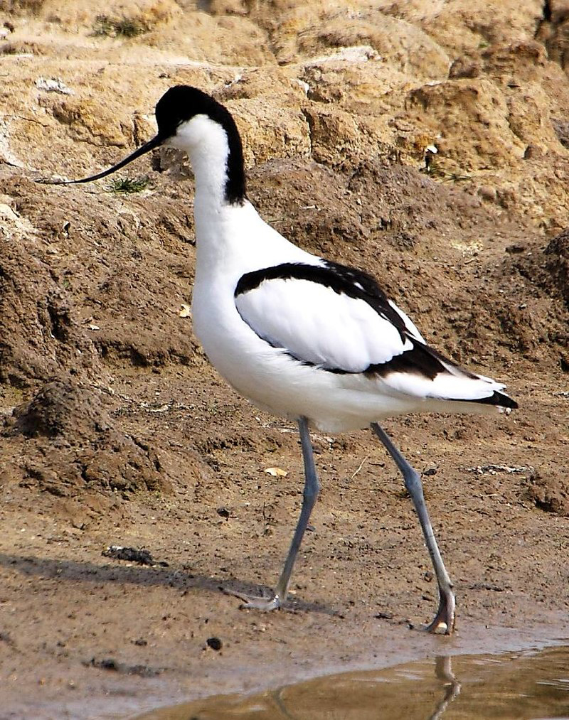 A Pied avocet, photographed at Minsmere, UK. Note the highly reduced hallux. Image: Tim Felce, CC BY-SA 2.0 ( original here ).