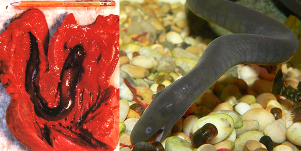 At left: a snubnosed eel found living inside the heart of a shark. Eels are not tetrapods, it's true. But here's evidence that aquatic vertebrates can become endoparasites. Image: Caira  et al . (1997). At right: an aquatic typhlonectid caecilian. Surely it's only a matter of time before we discover an endoparasitic one of those as well. Image: Neil Phillips.
