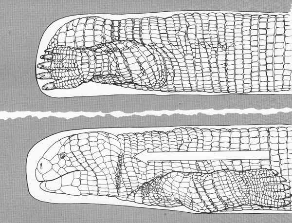 Carl Gans's illustration of a burrowing ajolote, showing how the large, well-clawed forelimbs function in propulsion. This is clearly a Five-toed worm lizard  Bipes biporus ; the other extant species have four and three digits, respectively. Image:   Gans (1974)  .