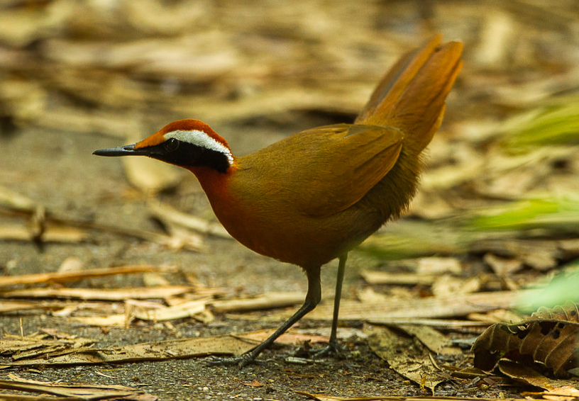 Eupetes , the Malaysian rail-babbler. A hypothetical big, flightless passerine should be a close relative of this bird. Image: Francesco Verronesi, CC BY-SA 2.0 ( original here ).