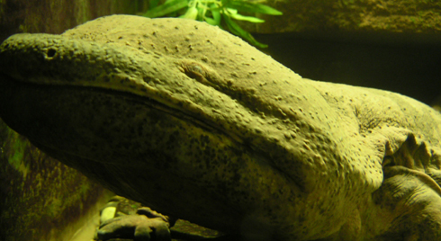 An Asian giant salamander ( Andrias ) photographed in captivity. Record-holding specimens of  Andrias  can be 1.8 m long and exceed 60 kg, and some extinct species reached even larger sizes. Image: Markus Bühler.