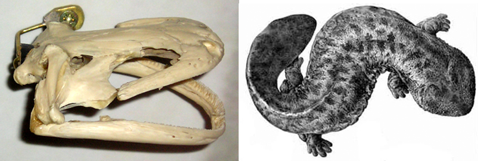 At left:  Andrias  skull. Image: Darren Naish. At right: Japanese giant salamander ( A. japonicus ) illustration by Y. de Hoev from 1887. Image: Y. de Hoev, public domain ( original here ).