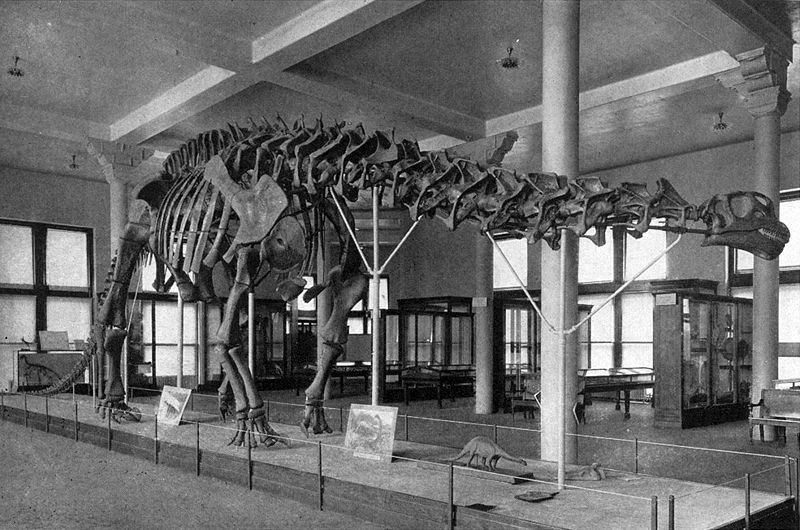 The iconic diplodocid specimen (AMNH 460) on display in the American Museum of Natural History, New York, with its semi-imaginary skull. Long labelled as  Brontosaurus excelsus , and then  Apatosaurus excelsus , it's currently of indeterminate status. Image: AMNH, in public domain ( original here ).