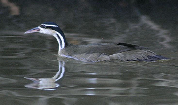 The Sungrebe is a boldly marked heliornithid that occurs from southern Mexico in the north to Bolivia and northern Argentina in the south. It is c 30 cm long, remains relatively abundant, and is associated with swamps, marshes and well-vegetated streams and rivers. Image: L. Catchick, wikipedia, CC BY 3.0 ( original here ).