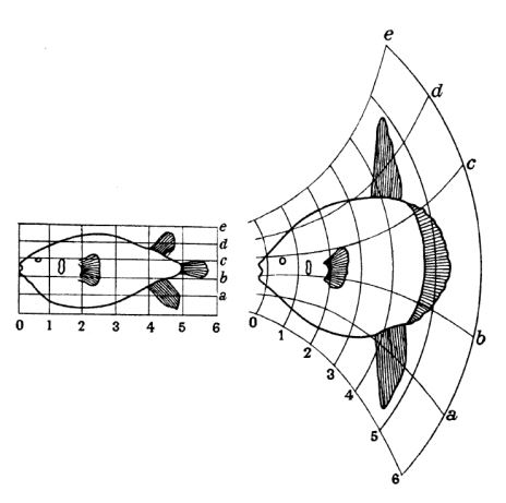 Thompson applied his Cartesian grid technique to many animal lineages, his aim being to show that mathematically predictable transformation in one or more anatomical regions could result in profound anatomical change. Here's one of my favourite examples: how you can derive a molid sunfish ( Mola  was known to Thompson as  Orthagoriscus ) from a porcupinefish. Image: Thompson (1917).