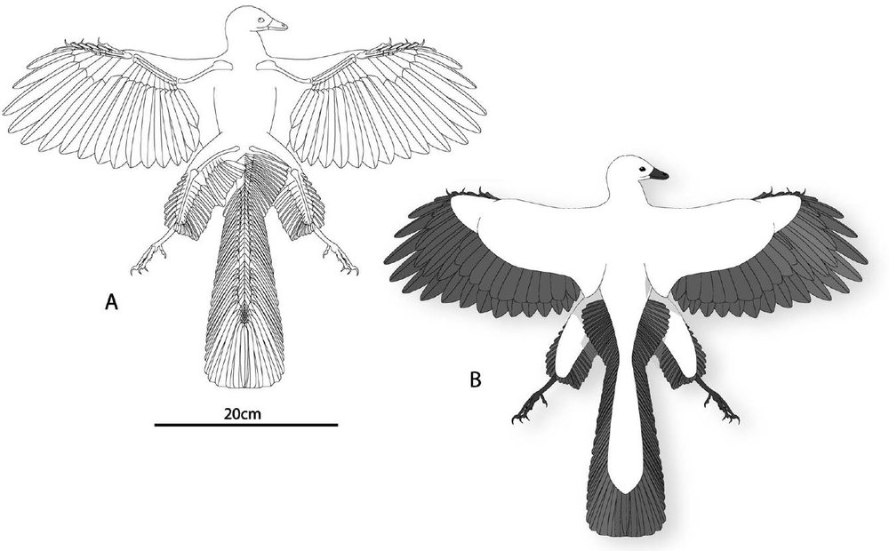 Recent work shows that  Archaeopteryx  really did have long feathers on the proximal portions of its hindlimbs (these reconstructions are by Longrich (2006)), though they weren't as long as the feathers Beebe imagined for his tetrapteryx stage creature. Image: Longrich (2006).
