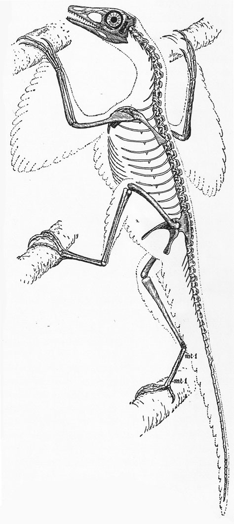 The more dynamic, climbing version of Heilmann's Proavis skeletal reconstruction, the only version of the reconstruction included in the 1926 English version of his book. Image:   Heilmann (1926)  .