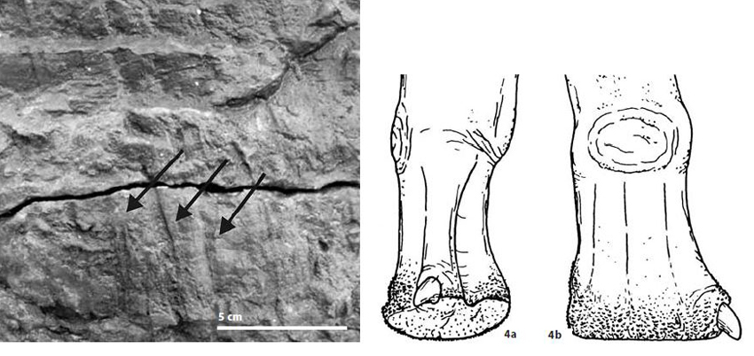 Vertical scores associated with sauropod hand prints indicate that at least some of them had tuberculate hand skin, as depicted here (at right) in this modified version of a Greg Paul illustration. Image: Milàn  et al . (2005).
