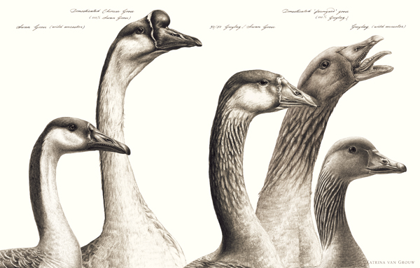 Geese (wild and domesticate) from    Unnatural Selection   . This panel combines Katrina's illustrations with Natee Himmapaan's amazing skills in writing and labelling. Credit: Katrina van Grouw/  van Grouw (2018)  .