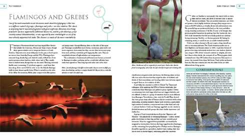 Screengrabs from the aborted Naish 'The Bird Family Tree' book. Yes, I should pick it up and get it published. No, I can't do that due to a list of other projects that prevent such action. Images: Darren Naish.