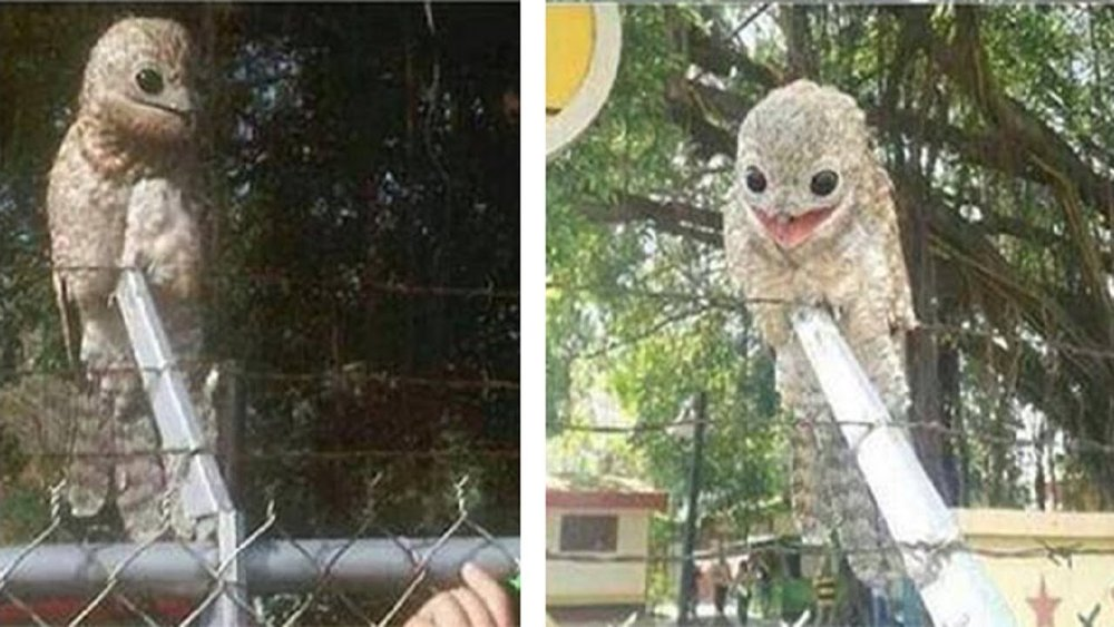 Two of a set of famous potoo-themed photos (there are at least four in total). These went viral in 2015 and finding a photographer to credit has not been possible, but if there's anyone in particular who should be credited, I'd be interested in knowing their name. This is definitely a Great potoo  Nyctibius grandis  (or, part of the series of populations currently included within that species, anyway).