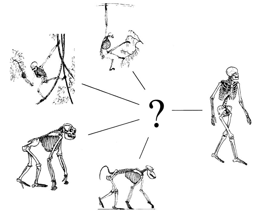 Which form of locomotion was typical of those hominoids ancestral to hominids? Were they brachiators, arboreal climbers, or digitigrade or knuckle-walking terrestrial forms? Image: Richmond  et al . (2001).