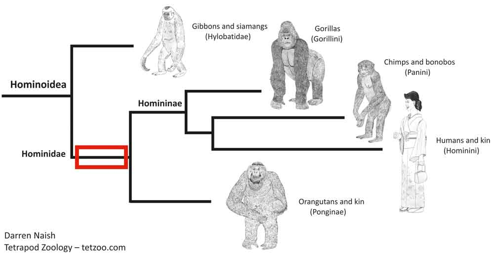 The red box shows the section of the family tree we're especially interested in here. The animals concerned are hominoids, but not part of the hominid crown (that is, they're not part of the hominid group delimited by living hominid lineages). They're stem-hominids, or 'pre-hominids'. Image: Darren Naish.