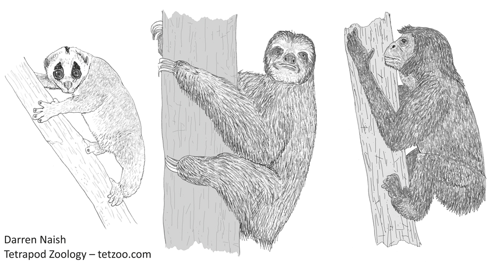 Did hominids start their history as 'cautious climbers', convergently similar to such arboreal mammals as lorises, sloths, various leaf-eating Old and New World monkeys, and some extinct lemurs? The pre-hominid at far right is a hypothetical animal - a 'concestor' - that matches this prediction. A slow loris and three-toed sloth are shown at left. Image: Darren Naish.