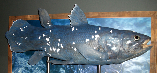 The idea that  Latimeria , the extant coelacanth, provides support for the view that Mesozoic-grade vertebrate taxa might persist to the present without leaving a fossil record is very naive. In case you hadn't noticed, we've now known of Holocene coelacanths for more than 80 years. This model was on display at the Natural History Museum (London, UK) in 2013. Image: Darren Naish.