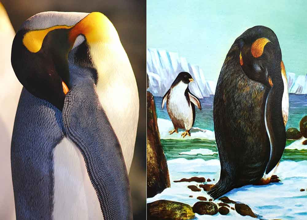 Left: King penguin  Aptenodytes patagonicus  sleeping, bill tucked under wing. I can't confirm that this is what it does show. However… Right: illustration of exactly the same thing, from Burton (1969). Bonus mystery penguin in the background. Image:  jpmatth , CC-BY-NC-ND 2.0 (original  here ), Burton (1969).