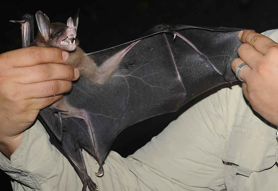 Vampyrum , the False vampire, has to be considered one of the most awesome of all bats. It's convergently similar to the distantly related megadermatid bats of Africa, Asia and Australasia, also (confusingly) often called false vampires. Image: Marco Tschapka, wikipedia, CC BY-SA 3.0 (original   here  ).
