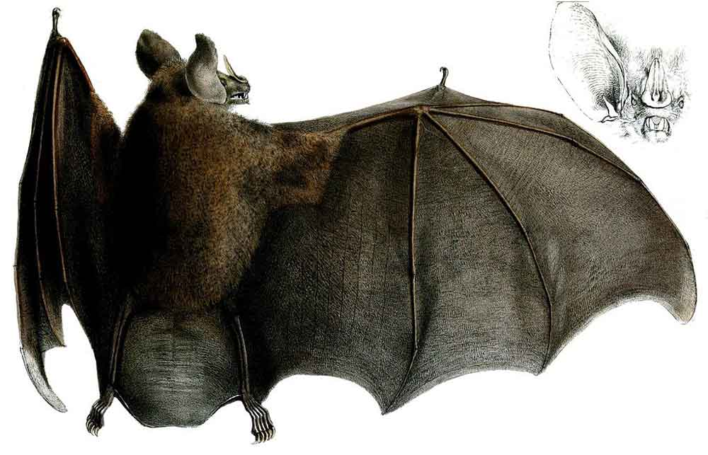 Chrotopterus , a big spear-nosed bat. Notice how this bat has relatively broad, low-aspect wings and a large, deep uropatagium (the membrane between the legs). Contrast this with some of the images below. Image: George Henry Ford, public domain (original   here  ).