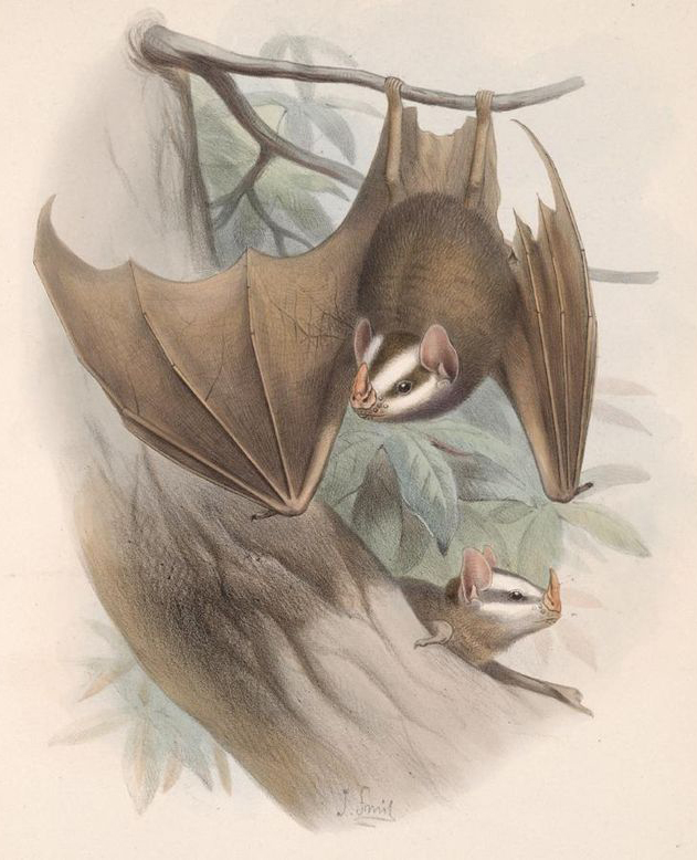 Beautiful illustration of Salvin's big-eyed bat  Chiroderma salvini , a stenodermatine phyllostomid that has a wide range across South and Central America. The facial stripes are not normally this pronounced in life, though it should be noted that populations are variable as goes stripe thickness. Image: Joseph Smit, in public domain (original   here  ).