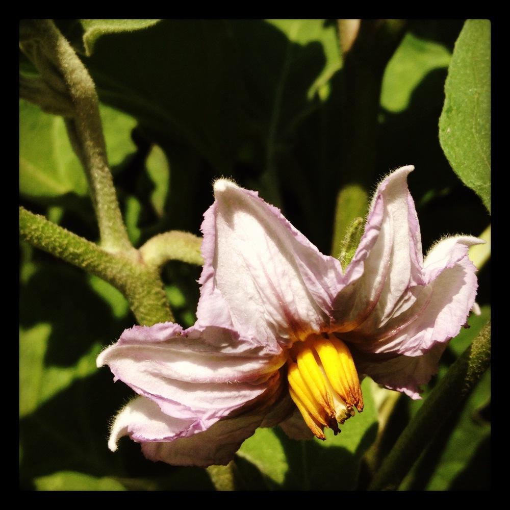Eggplant flower.