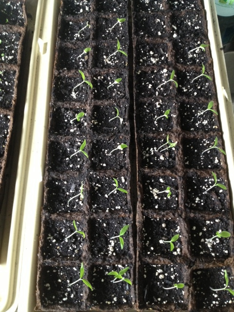 Red short vine tomatoes sprouting.