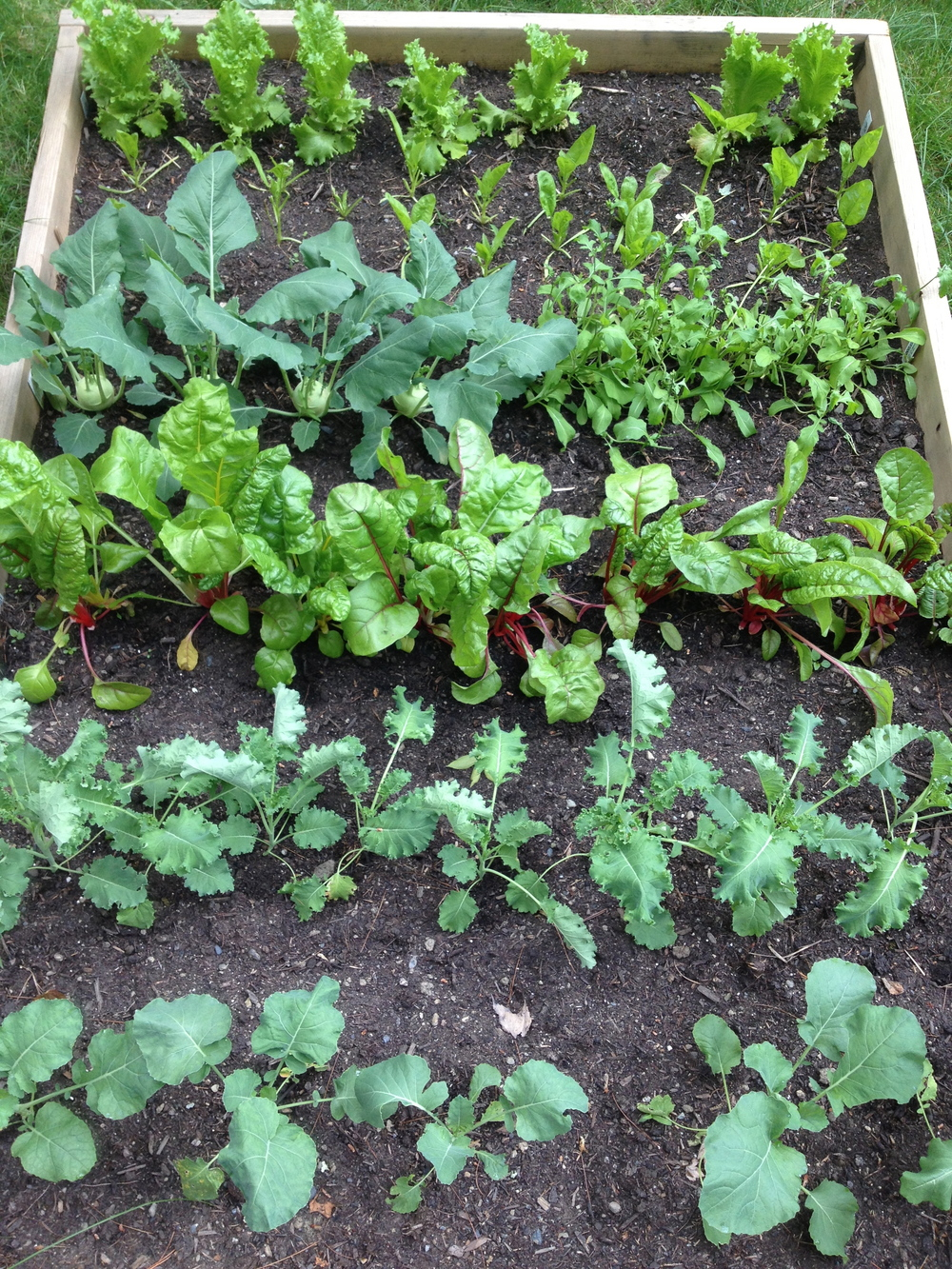 Broccoli (from seed), kale, swiss chard, kohlrabi, arugula, spinach (from seed) and lettuce. (Front to back.)