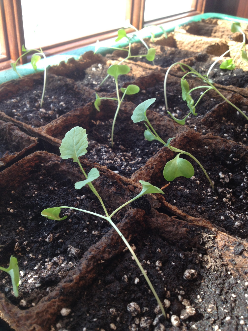 Broccoli in early April.  Had just been moved to larger cells.