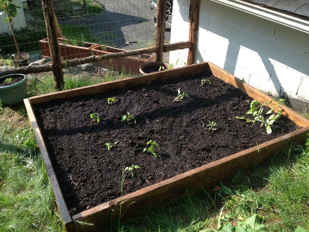 Tomato and pepper plants in the ground.