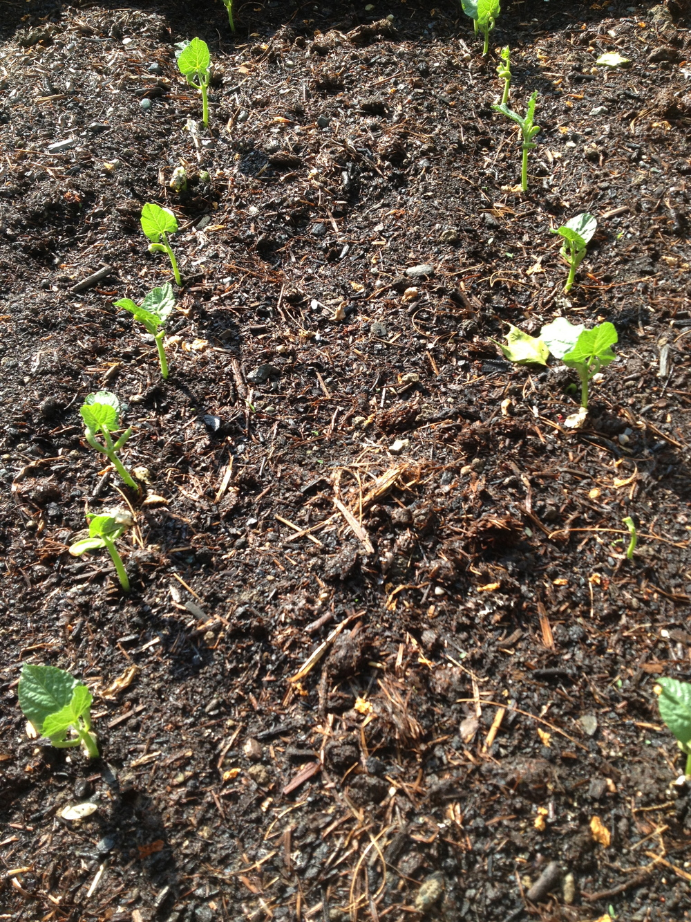 Beans coming up!  They are getting so big now!  I'll show you another picture below.