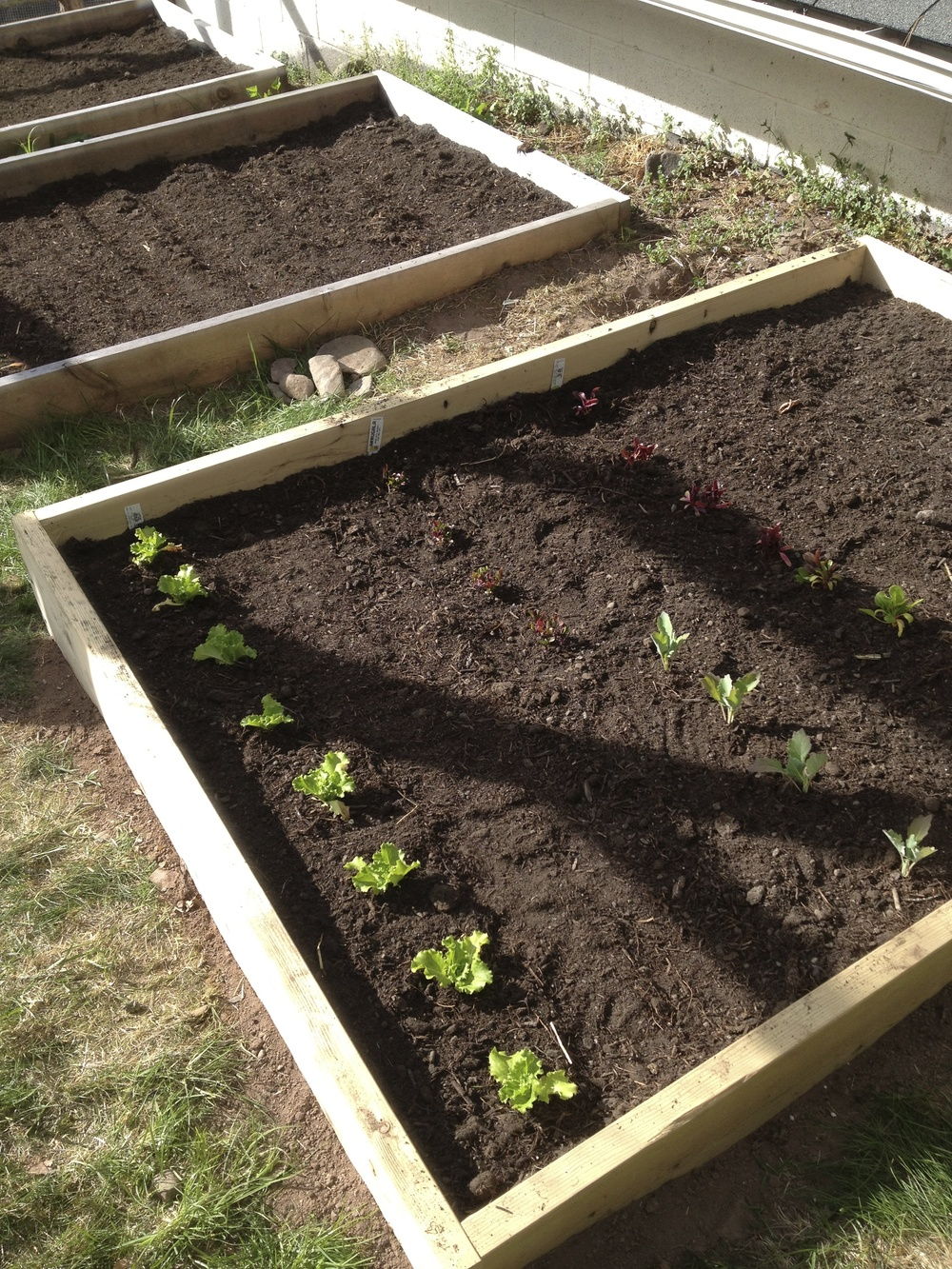 Here's the baby greens bed - just wait until you see what it looks like now! (See first image in this post.)