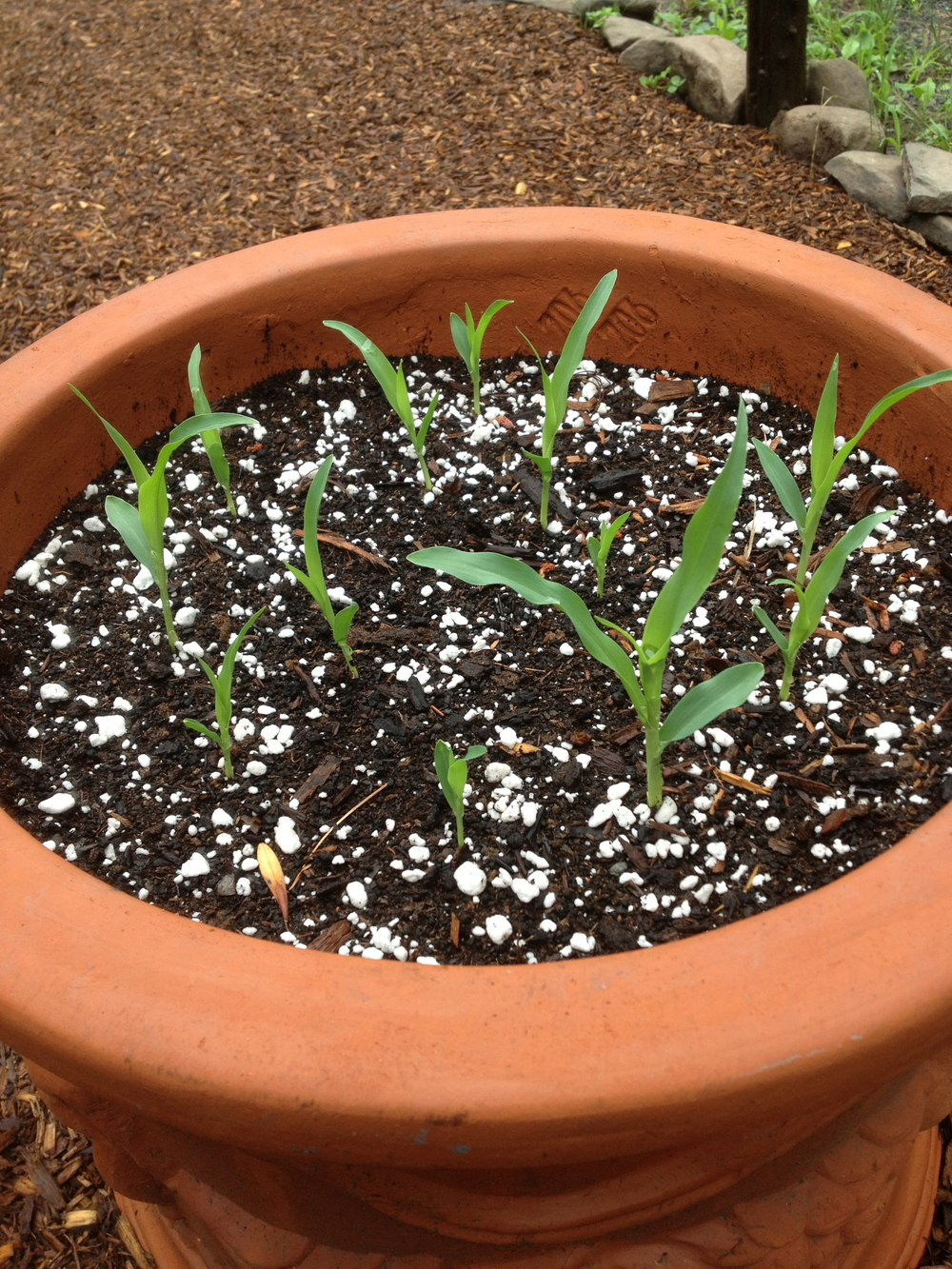 Corn sprouts.