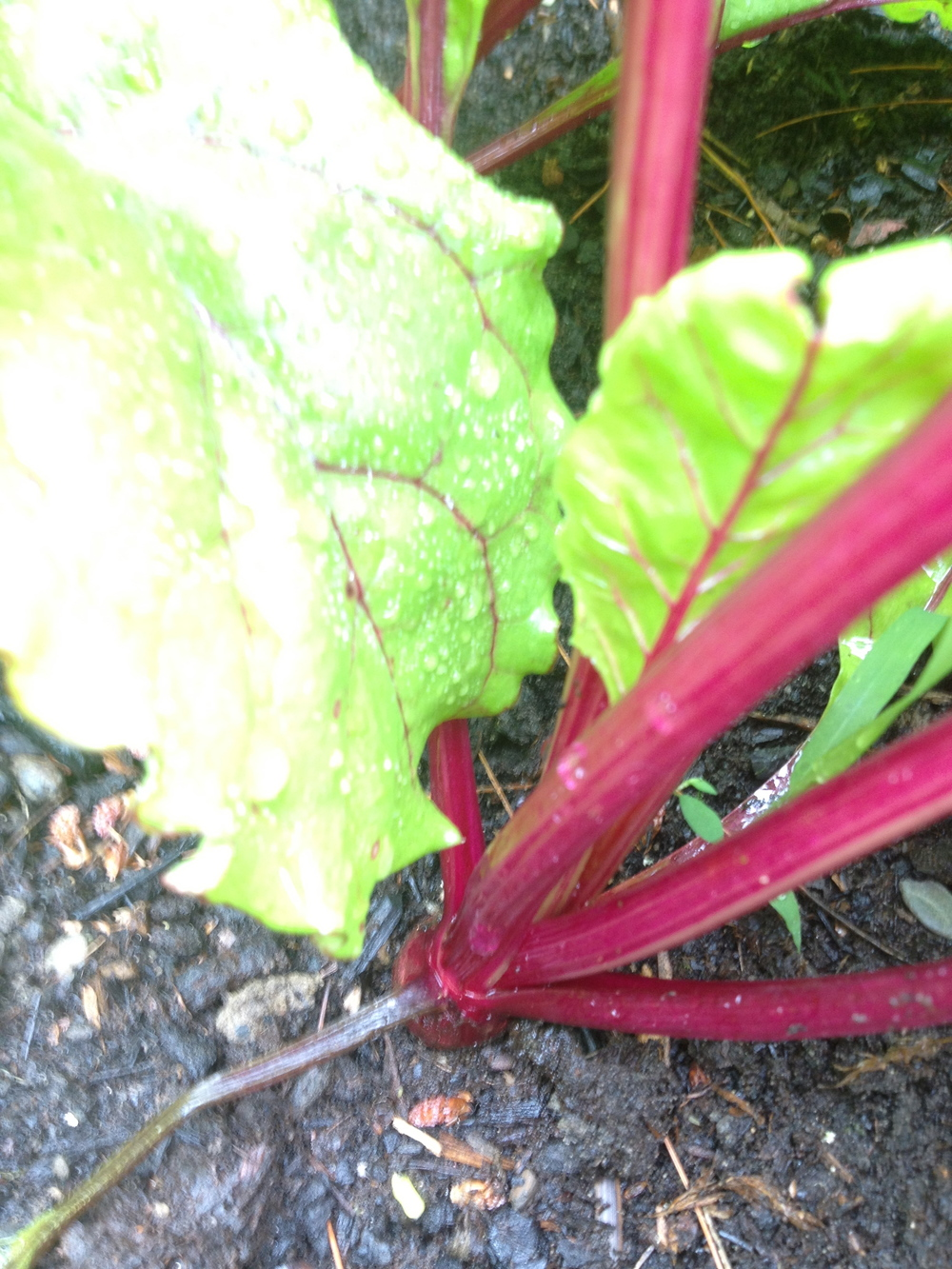 The beets are starting to come out!